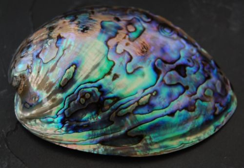 Whole Polished Paua Shell